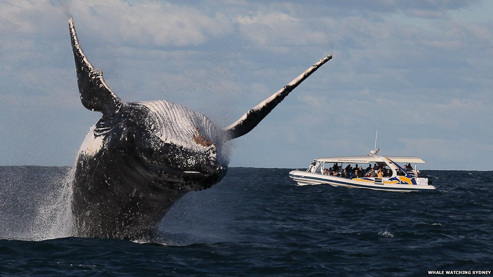 Humpback Whale Migration Qoute: In Pictures: Humpback Whales Perform Migration