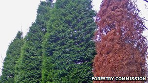 Tree on the right killed by Phytophthora lateralis (Image: Forestry Commission)