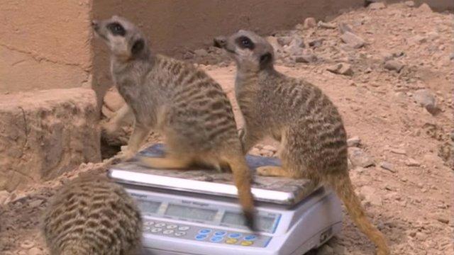 Meerkats weighing in