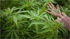post-image-Could legalising marijuana save the US economy?