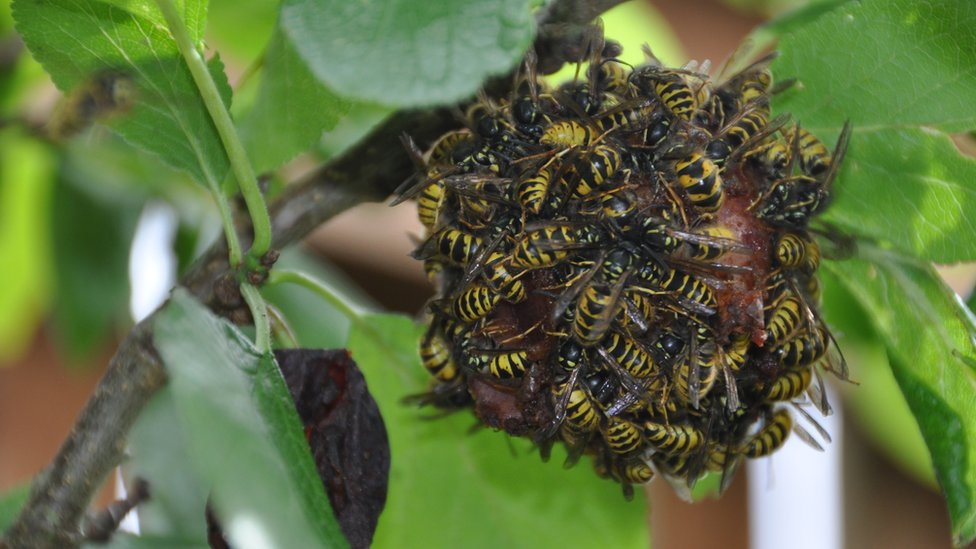 Wasps on a plum