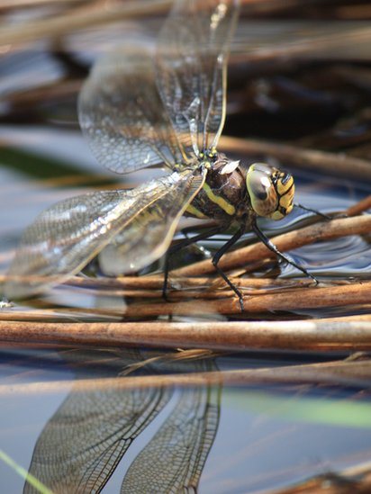 Dragon fly laying eggs