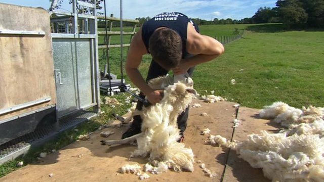 Dean Nelmes shearing a sheep