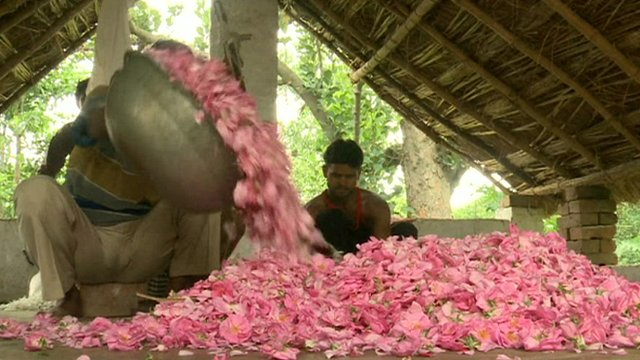 Farmers in northern India gather petals for the perfume distilleries