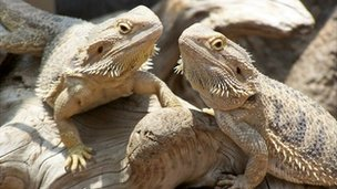 Falkirk Thieves Make Off With Three Bearded Dragons Bbc News