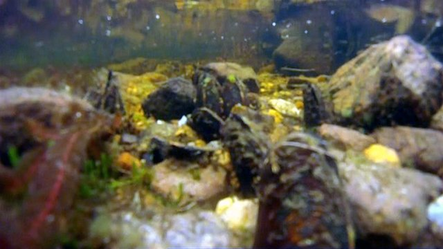 Freshwater pearl mussels