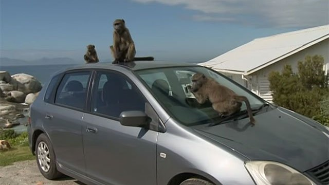 Baboons on top of a car