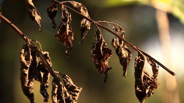 Ash tree affected by ash dieback