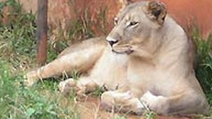 Chantal the lioness