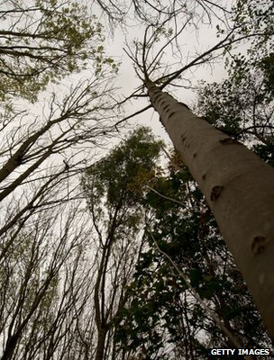 Ash trees (Getty Images)