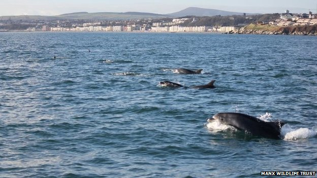 Bottlenose Dolphins in Douglas Bay 2012 - Photo MWT