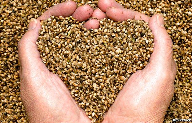 Hand holding hemp seeds
