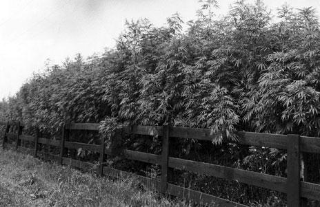 Hemp field, 1942, Fayette County, central Kentucky