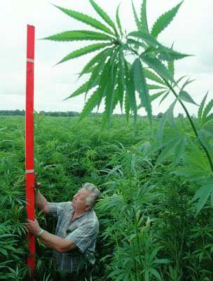 Farmer Wilfried Arndt meassures the length of his hemp plants, Thursday, July 18, 1996 on his field near Uetz, about 30 kilometers north of Berlin