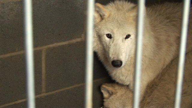 Wolves in a pen at Woodside Falconry and Park