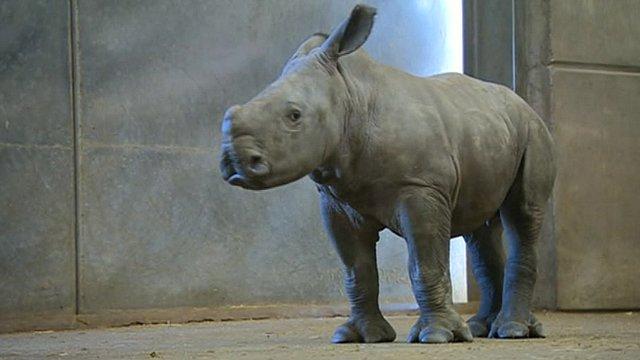 Nijiri the white rhino