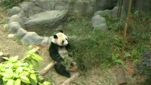 One of the pandas at Singapore's River Safari zoo
