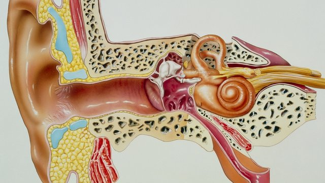 Cross section of the middle and inner ear