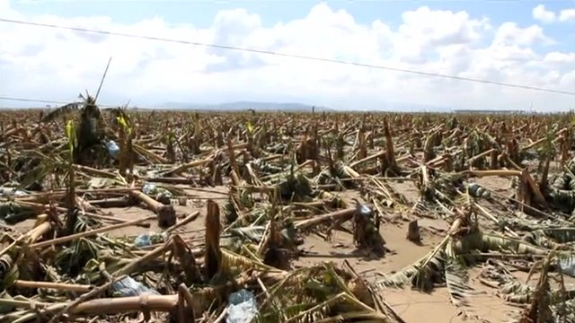 Devastated banana crop