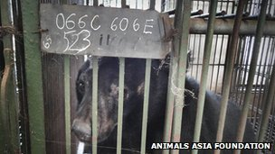 Caged moon bear in Vietnamese bear farm