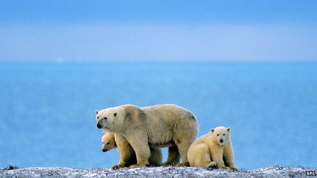 Polar bear trade ban divides campaigners
