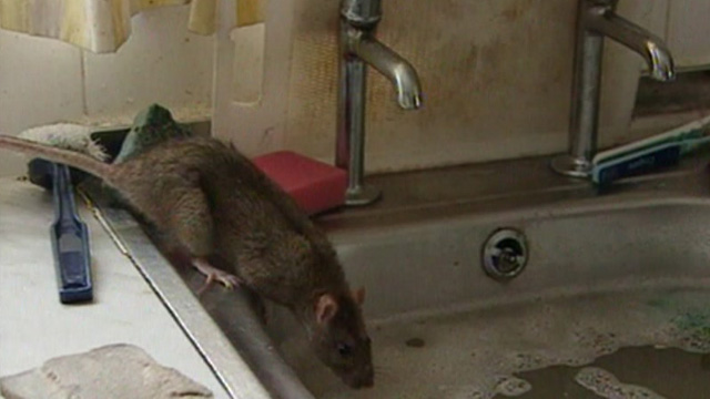 Rat near kitchen sink