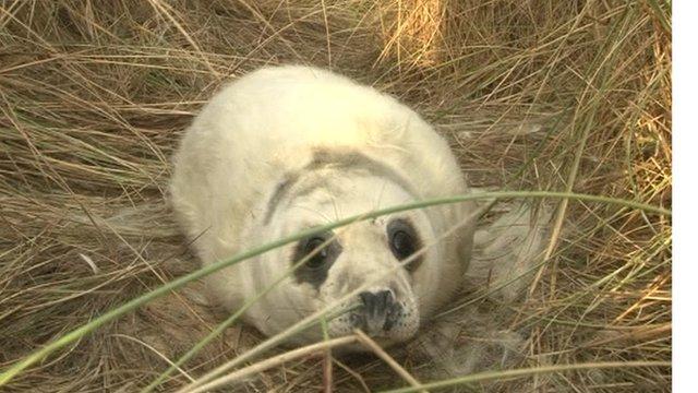Seal pup at Horsey Beach in Norfolk