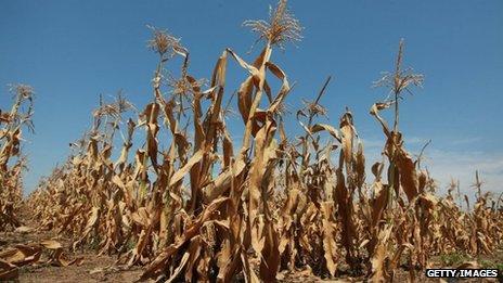 Corn plants struggle to survive in a drought-stricken farm field near Oakton, Indiana 19 July 2012