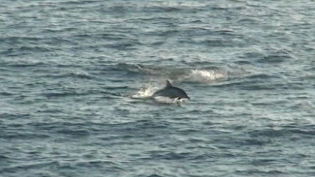 Dolphin off Welsh coast