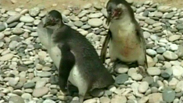 Young Humboldt penguins