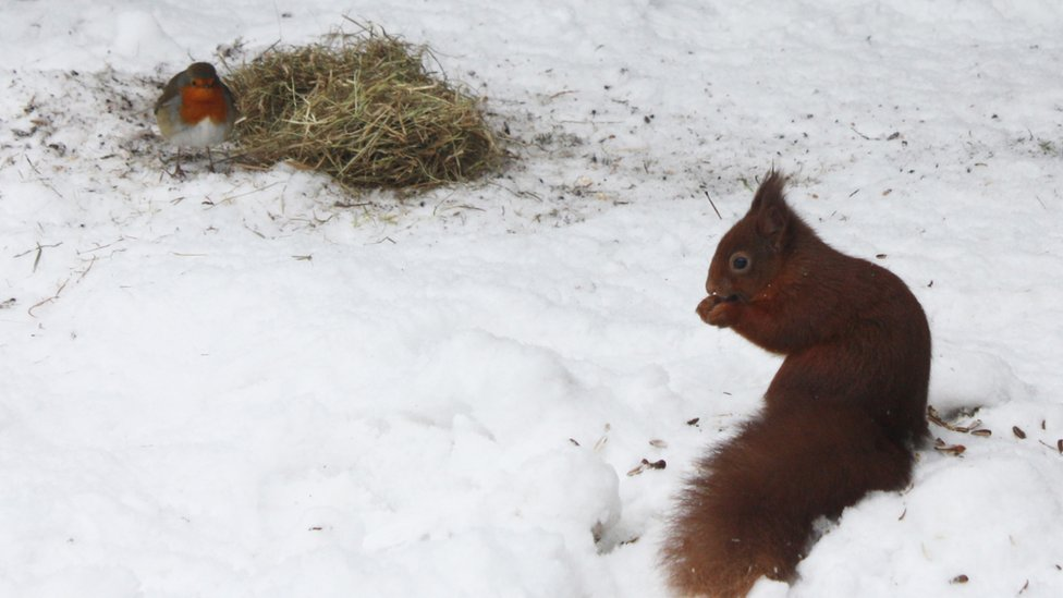 A robin and a red squirrel in the snow