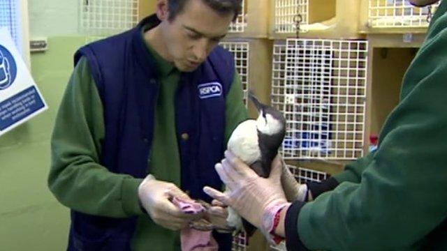 RSCPA worker cleans a seabird