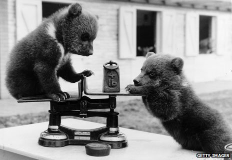 May 1962: Two brown bear cubs born at Whipsnade Zoo, Bedfordshire playing with the scales at their first weight check
