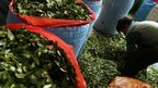 post-image-Colombia's Farc proposes legal coca and marijuana crops