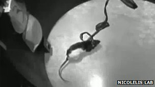 Rat hooked up to infrared detector