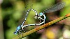 Damselfy mating to form a perfect heart by Newcombe