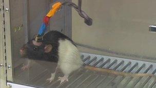 Rat in Nicolelis lab