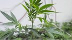 post-image-US ex-drug enforcement chiefs urge marijuana crackdown