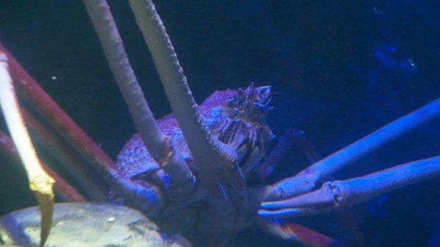 Japanese spider crab 'Big Daddy'