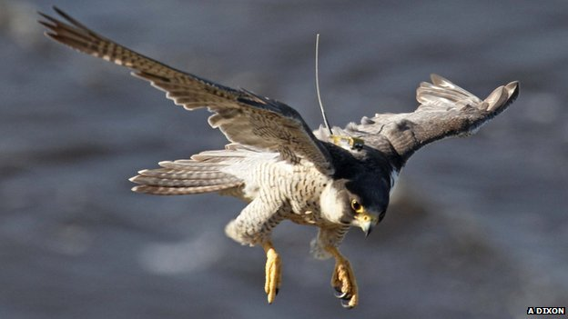 Falcons 'rapidly evolved' hunting skills