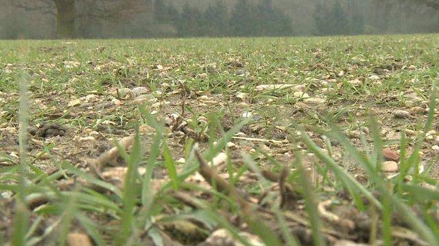 Stunted wheat crop in England