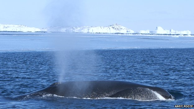 Ice Age bowhead whales' survival surprises scientists