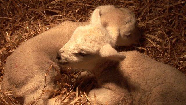 Surviving lambs