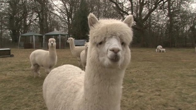 alpacas on farm
