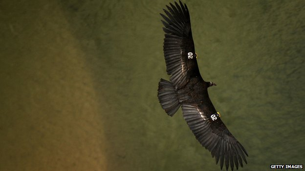 Lead bullet fragments poison rare US condors