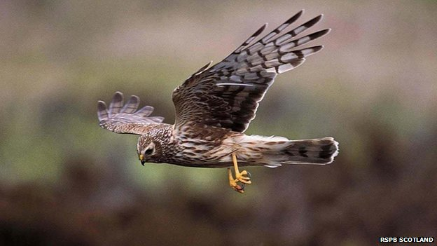 Walkers urged to spot hen harriers