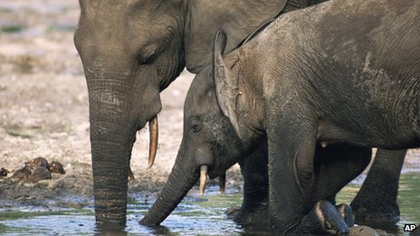 African forest elephant mother and calf drink water at a salt lick in the Dzanga-Sangha reserve, Central African Republic