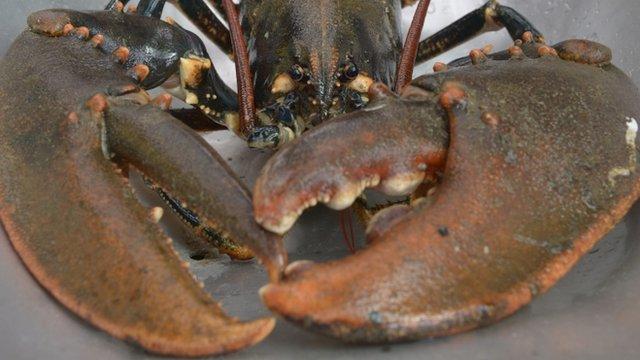 A male European lobster