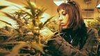 post-image-Legal marijuana: Confusion in Colorado over cannabis tax