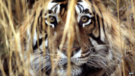 bbc news indian tigers face threat due to lack of genetic diversity